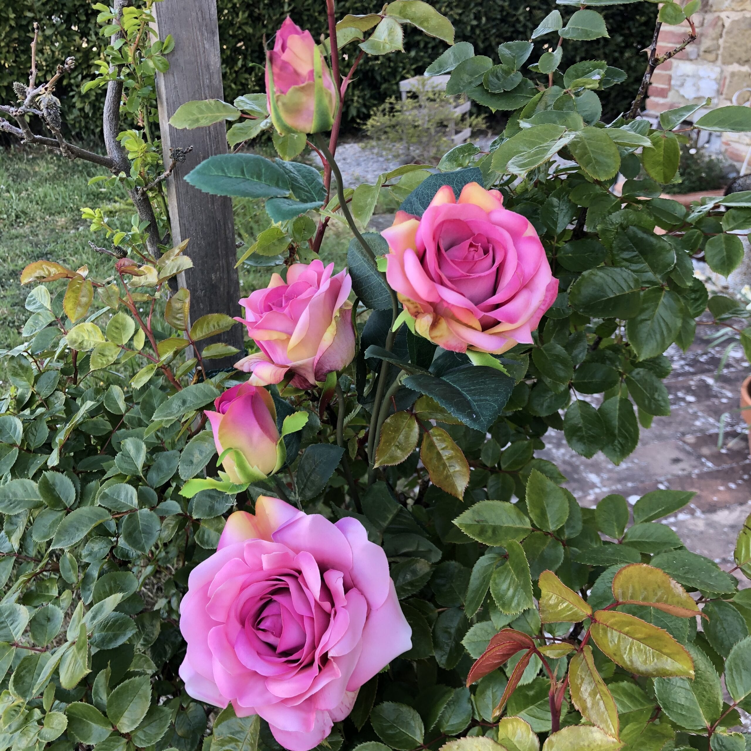 Tralcio di rose – Rosa
